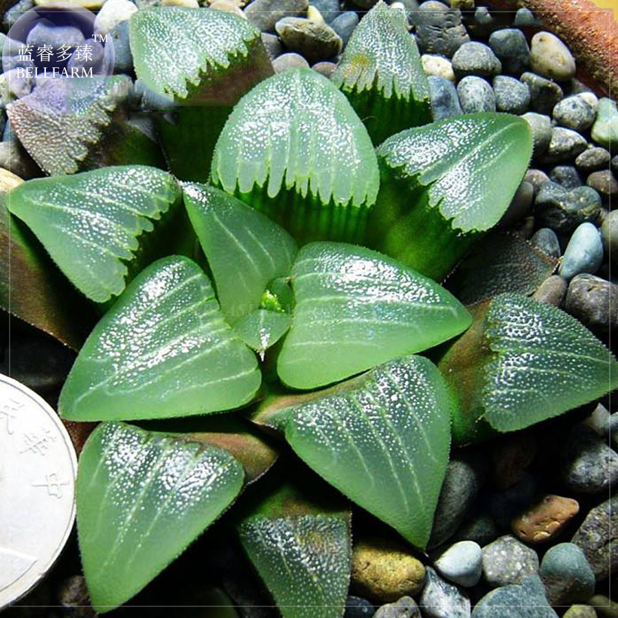 succulent cactus mixed living stones rocks plant seed 30 SEEDS Pleiospilos MIX