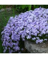 USA blue emerald creeping phlox 25 to 200 seeds (butterfly garden)(ground cover) - $6.99 - $24.00