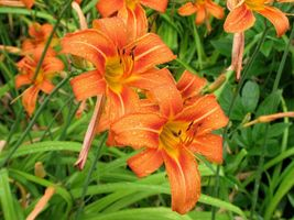 WILD DAYLILY 25 fans/root systems image 4