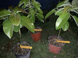 GRAFTED AVOCADO TREE LIVE PLANT - $64.99
