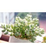 Live Plants 3X Succulent Cuttings Cotyledon pendens Succulent  - $21.99