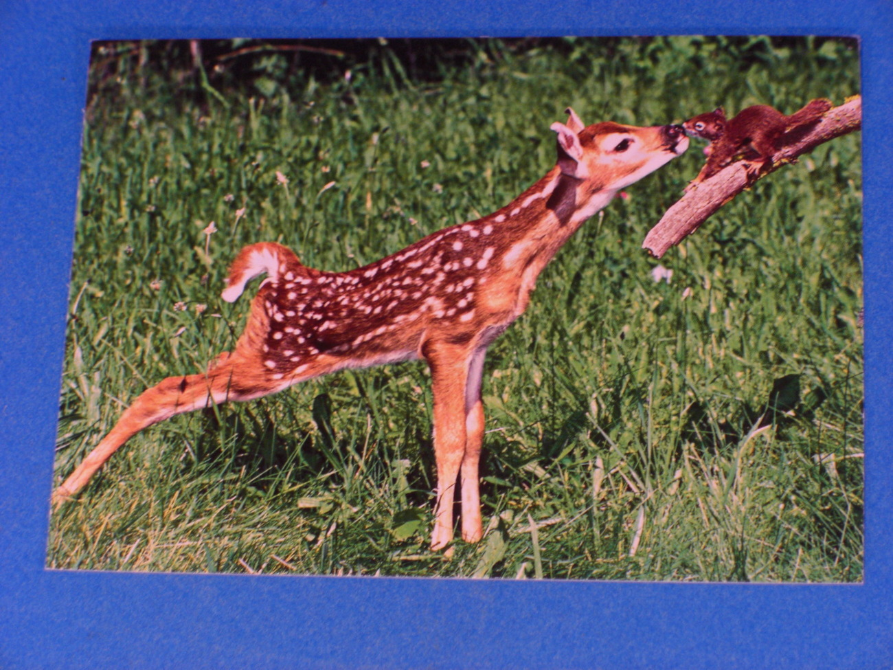 Nouvelles Images Fawn and Squirrel Postcard by A.G. Nelson
