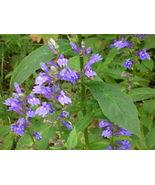 Organic Native Plant, Great Blue Lobelia - $3.50