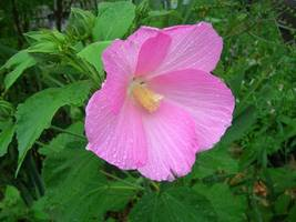 Organic Native Plant, Swamp Rose Mallow, Hibiscus palustris - $3.50