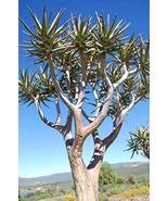 5 Seeds Quiver Tree Aloe dichotoma - $39.60