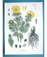 YELLOW PHEASANT'S EYE Adonis Vernalis Flower - Beautiful COLOR Botanical... - $26.01