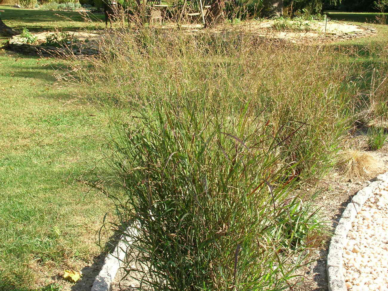 Organic Native Plant, Switchgrass, Panicum virgatum