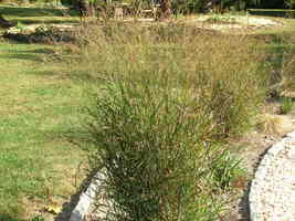 Organic Native Plant, Switchgrass, Panicum virgatum - $3.50
