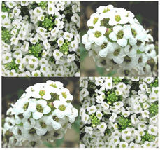 2,000 Alyssum Sweet Alice Flower Seeds - Lobularia Maritima - $8.50