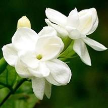 Jasmine Flower Bonsai 20 Pcs/Pack Balcony Potted White Jasmine Bonsai Fl... - $1.99
