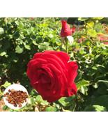 20 Red Rose Mister Linkoln Hybrid Tea Rose Flower Seeds Rare Exotic Home... - $2.69