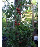 Ambrosia Red, a sweet and spicy cherry tomato - $4.50