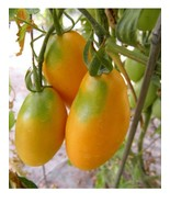 Orange Banana  - a bright orange salad tomato with a sweet fruity flavor - $4.05