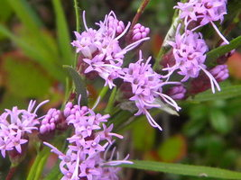 Hairy Blazing Star (Liatris graminifolia) - $3.50