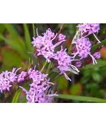 Hairy Blazing Star (Liatris graminifolia) - $3.75