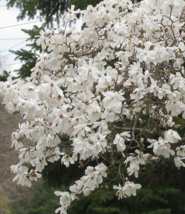 Star Magnolia shrub Magnolia stellata image 4