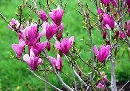 Ann Magnolia shrub/tree image 2