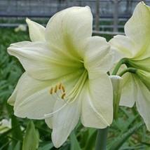 Amaryllis Bulbs Hippeastrum Bulbs Barbados Lily,Light Green Amaryllis 2Pcs - $16.00