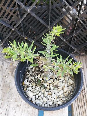 Didierea trollii Madagascar Thorn Forest Shrub 11