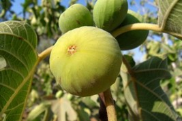 LEMON Fig Tree a-k-a Blanche Italian Honey Marseilles - $34.99