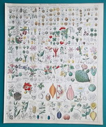 BOTANY Flowers Brazil Nut Mistletoe Cactus Guava Poison - 1843 HC Color ... - $39.60