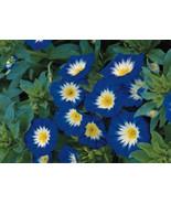 Morning Glory Seeds Ensign Royal, Heirloom Flower, Climbing Vine, Non-Gm... - $14.39