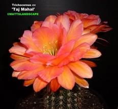 Trichocereus,Hybrid,'TAJ MAHAL',*NEW*,PLANT,Echinopsis - $51.06