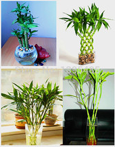 30pcs/bag 3 KINDS MIXED Lucky bamboo seeds,potted balcony, planting is s... - $8.77