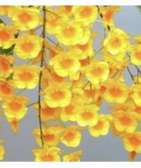 Dendrobium lindleyi (aggregatum) Species Orchid Plant Blooming Size yellow - $15.29