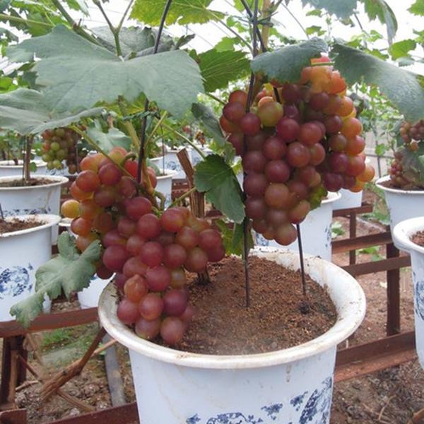 Egrow 50Pcs/Pack Grape Vine Seeds Organic Outdoor Sweet Fruit Seed Succulent Pla