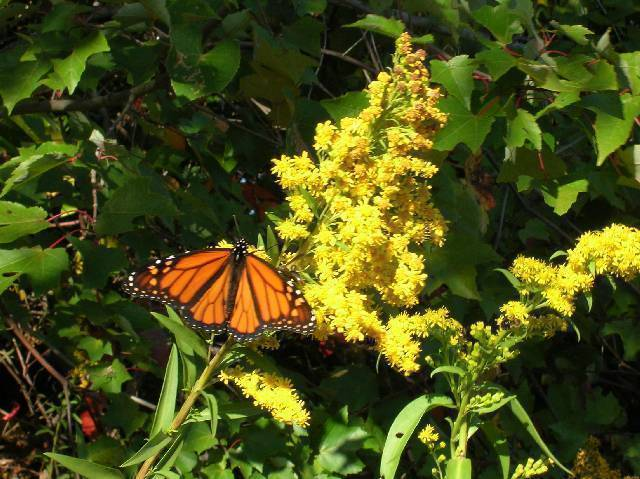 Organic Native Plant, Seaside Goldenrod, MonarchButterfly Fo