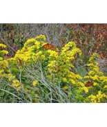 Organic Native Plant, Seaside Goldenrod, MonarchButterfly Fo - $3.50