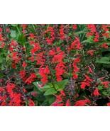 10 Seeds Hummingbird Sage Salvia - $19.96