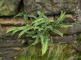 MAIDENHAIR SPLEENWORT fern 5 rhizome/root image 3