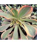 1 Live Bareroot Plant 2,4,6 or 8 inch - Aeonium 'Sunburst' Succulent Pla... - $19.99+