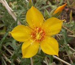 500 Seeds  Yellow Blazing Star Flower Mentzelia Lindleyi - $9.90