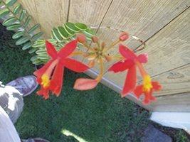 1 Bare Root of Epidendrum Variegated Red Reed Stem Orchids - $83.16