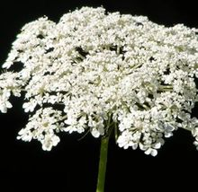 SHIP From US, 300 Seeds Baby's Breath Seeds, DIY Beautiful Flower AM - $39.99