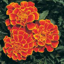 Queen Sophia Marigold Flower Seeds Container Flower Seeds - $8.99