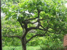American Persimmon tree (Diospyros virginiana 'American) quart pot image 4