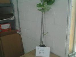 Tulip Tree ( liriodendrontulipifera) image 3