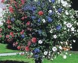Ship From US, ROSE OF SHARON *** 3-1N-1 **** FLOWERING SHRUBS TREES 2-3 FT P1 - £36.61 GBP