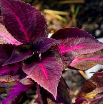 100pcs Very Beautiful Rare Plants Red Shiso Frutescens Purple Perilla Se... - $14.99