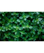 """organic peppermint plants (rooted ) / 2 count 4-6"""" long Grown in the U.S.A - $25.00"""
