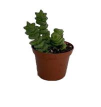 """2.5"""" Pot - Caterpillar Plant - Crassula marnieriana - Gardening - tkhit  - $45.00"""