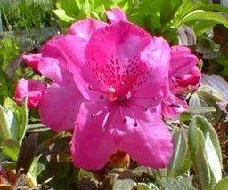 1 Starter Plant of Rhododendron Calostrotum 'Gigha' - $71.28