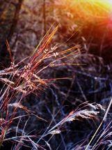 100 seeds - Purpletop Grass Purple Tall Red Top Ornamental Tridens #SFB15 - $17.99