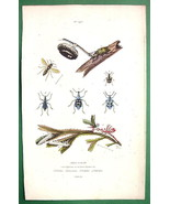 WASP Nest Beetles - 1836 H/C Color Natural History Print - $10.71