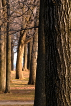 Trees in Mont Royal Canada 12x18 Photograph - $199.00