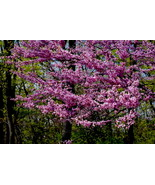 Cherry Blossoms #1 10x15 Photograph  - $179.00